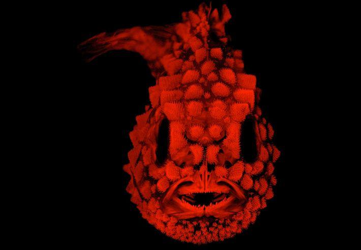 Esqueleto del pez Eumicrotremus orbis