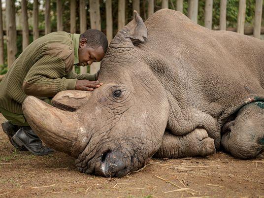 Lo que aprendí documentando la muerte del último rinoceronte blanco del norte macho