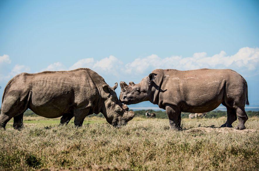 Sudán (a la izquierda) socializa en el área de conservación Ol Pejeta, en Kenia, con su ...