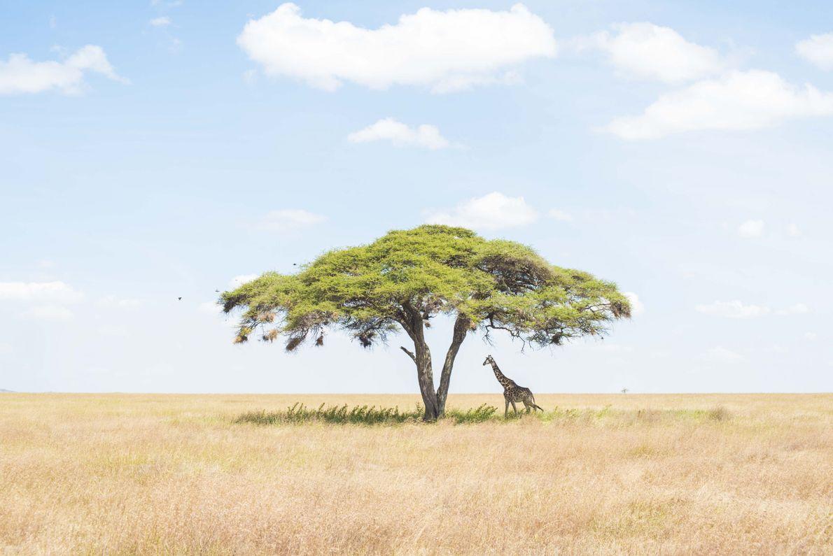 Una jirafa solitaria