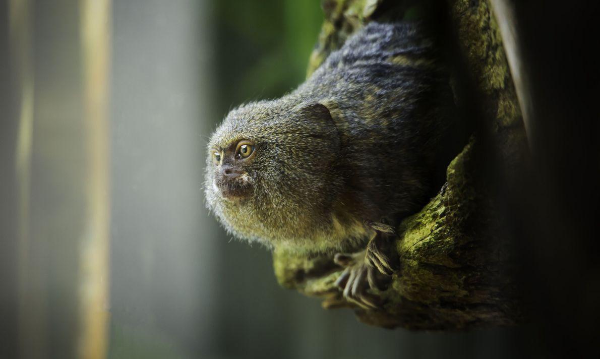 Mono de bolsillo