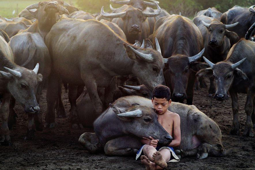 Pastor de búfalos