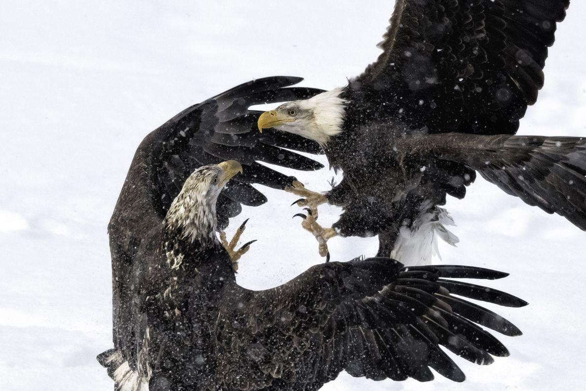 Duelo de águilas