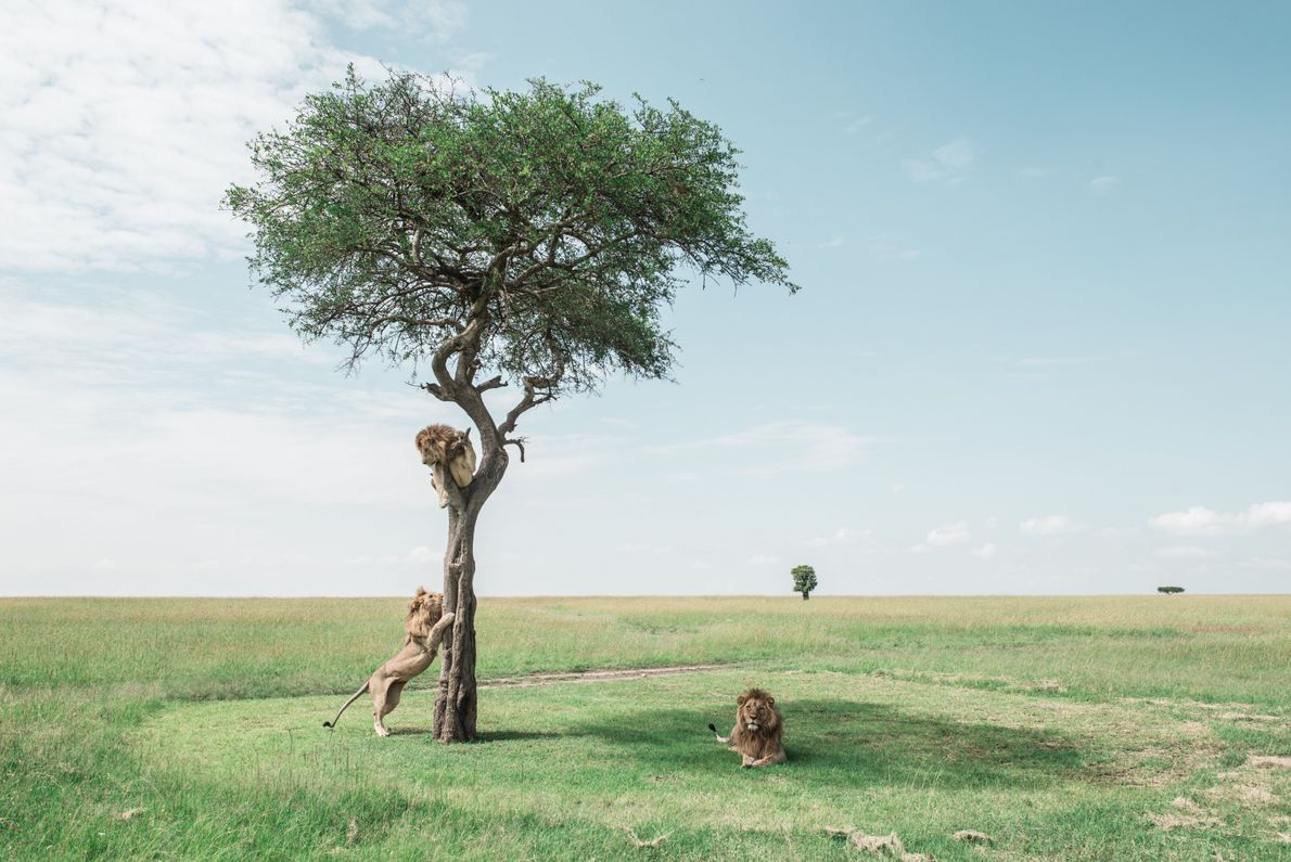 Tres leones