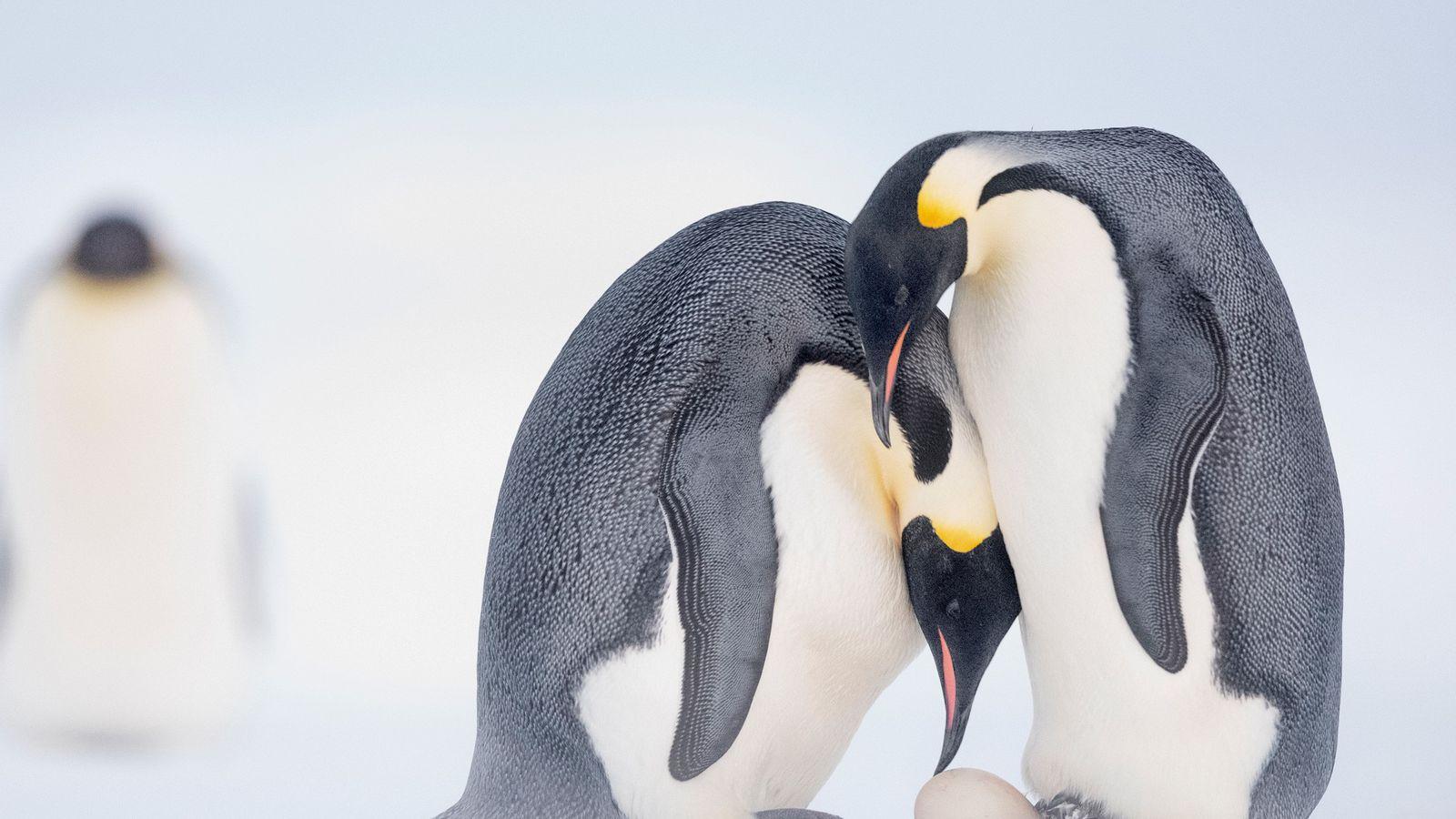 Pingüinos emperadores