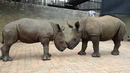 Este bebé rinoceronte huérfano ha hecho un nuevo amigo