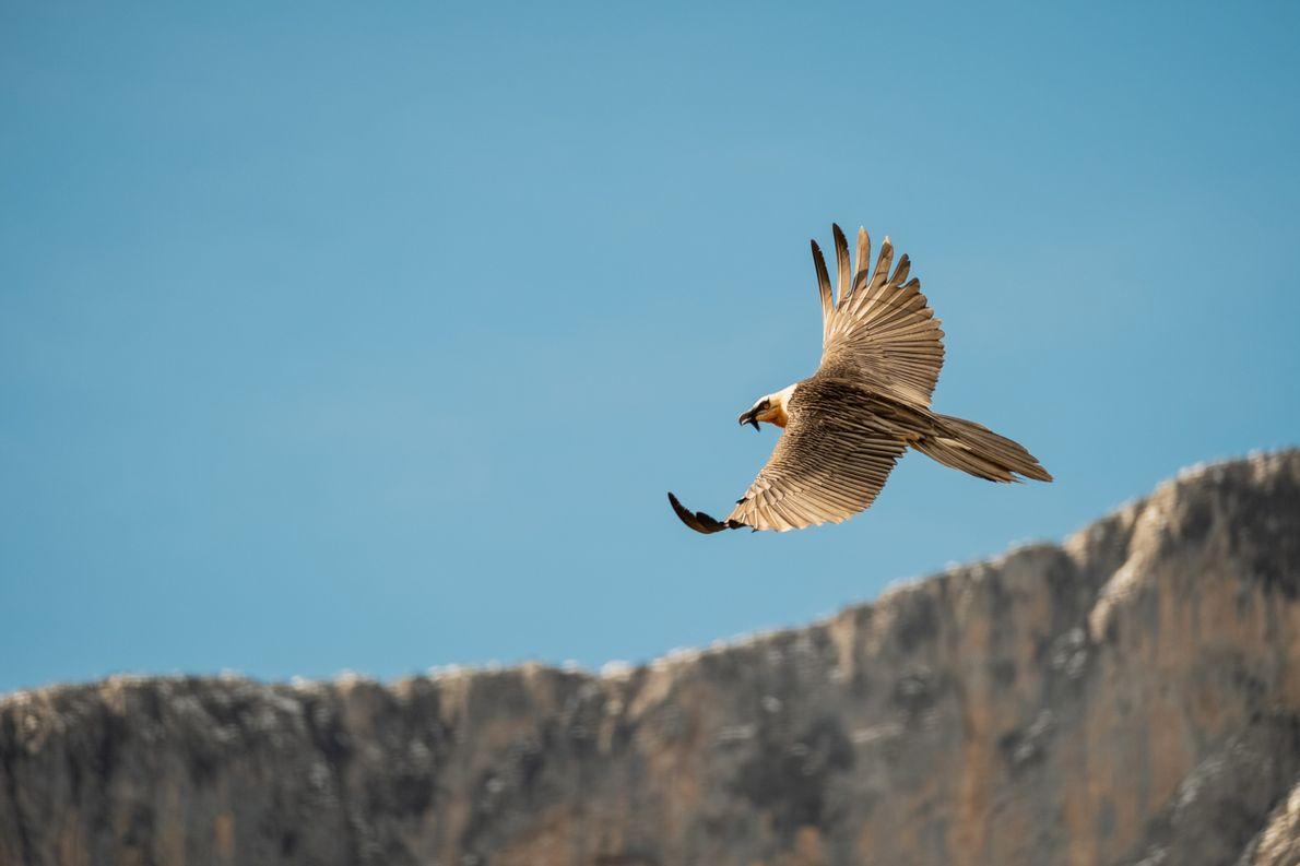 Nace el primer polluelo de quebrantahuesos en el Parque Nacional de los Picos de Europa desde ...