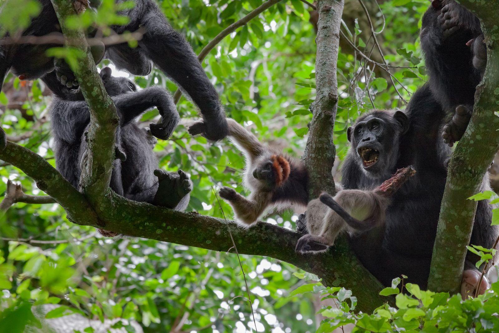 Chimpancés con un colobo