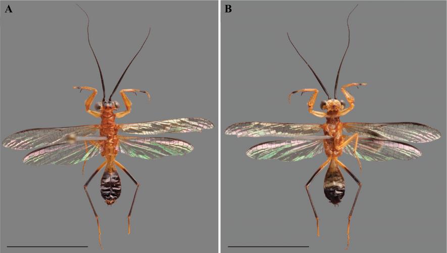 Fotografías de la nueva especie de mantis Vespamantoida wherleyi.