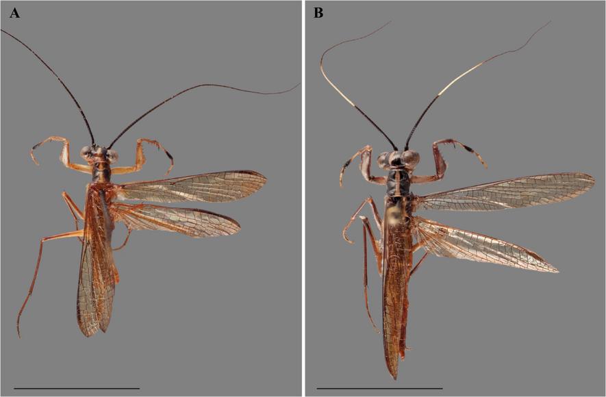 La especie anteriormente descubierta, Mantoida toulgoeti, pasó por tanto a llamarse Vespamantoida toulgoeti, y los investigadores creen que con el tiempo, el linaje crecerá.