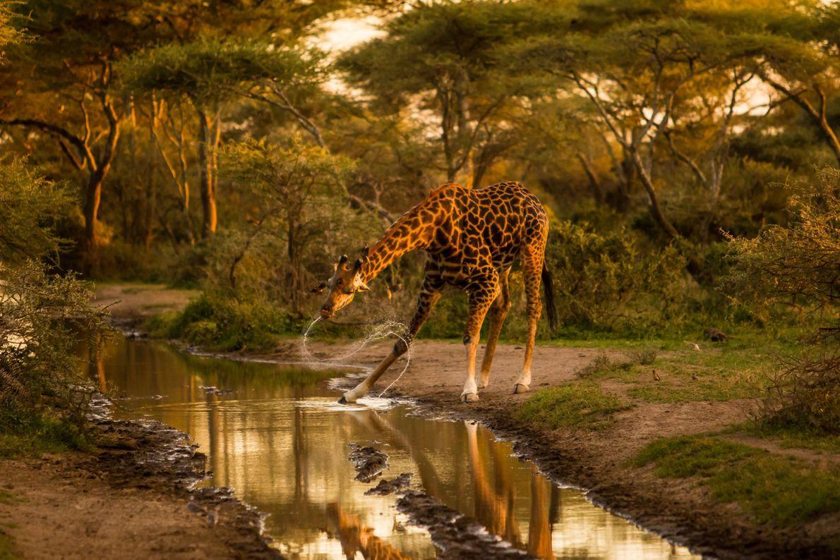 Imagen de una jirafa sacudiéndose el agua