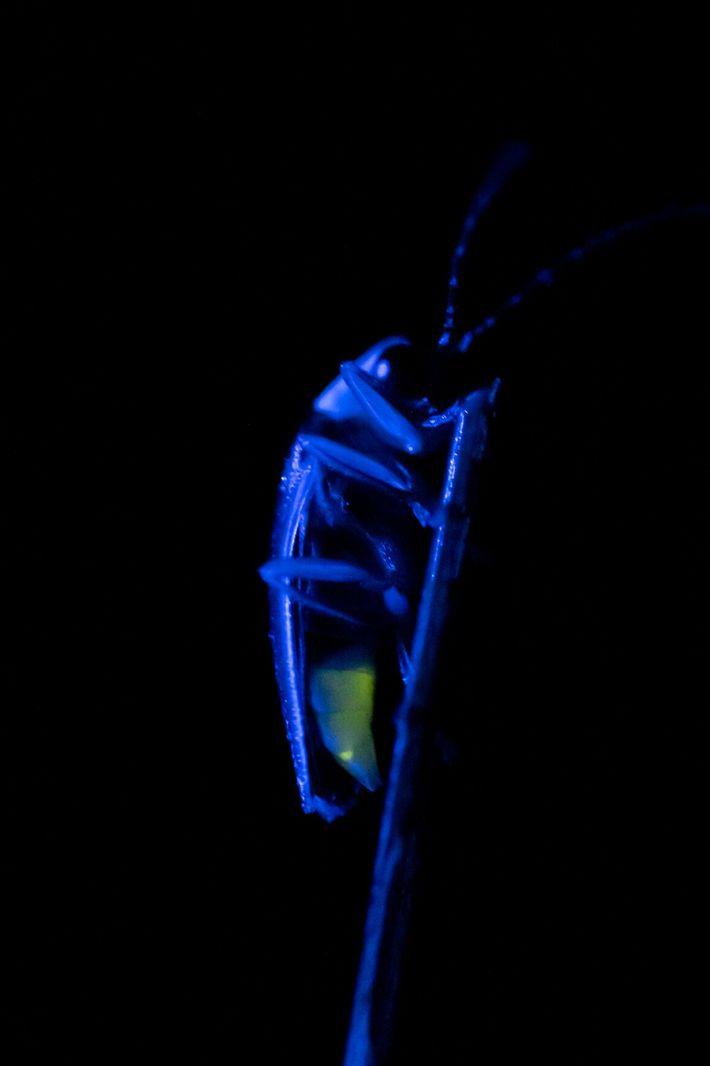 Luciérnaga Photuris frontalis
