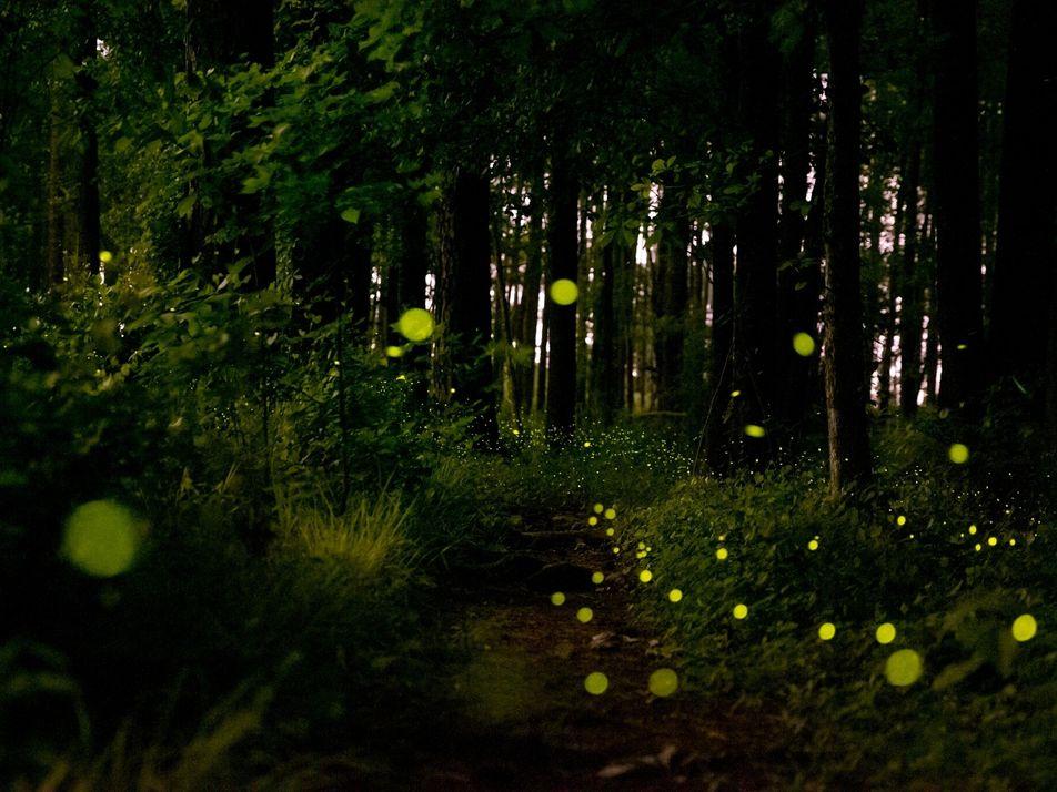 ¿Por qué parpadean al unísono estas luciérnagas?
