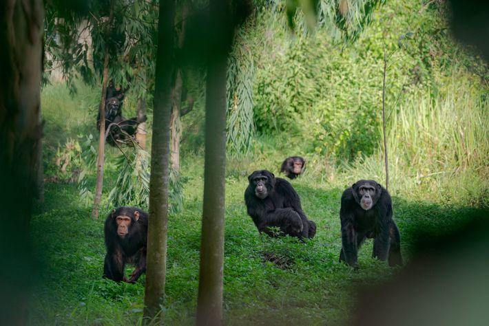 Grupo de chimpancés