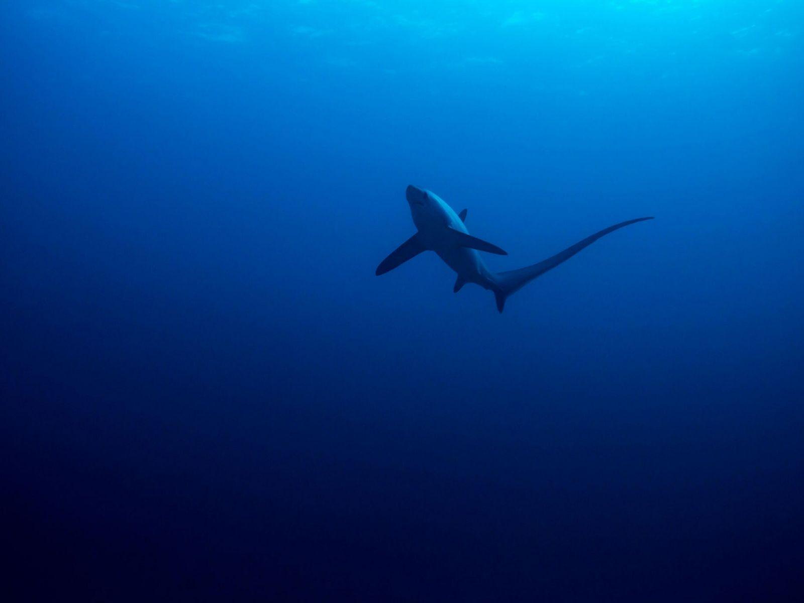 Fotografía de un tiburón zorro pelágico