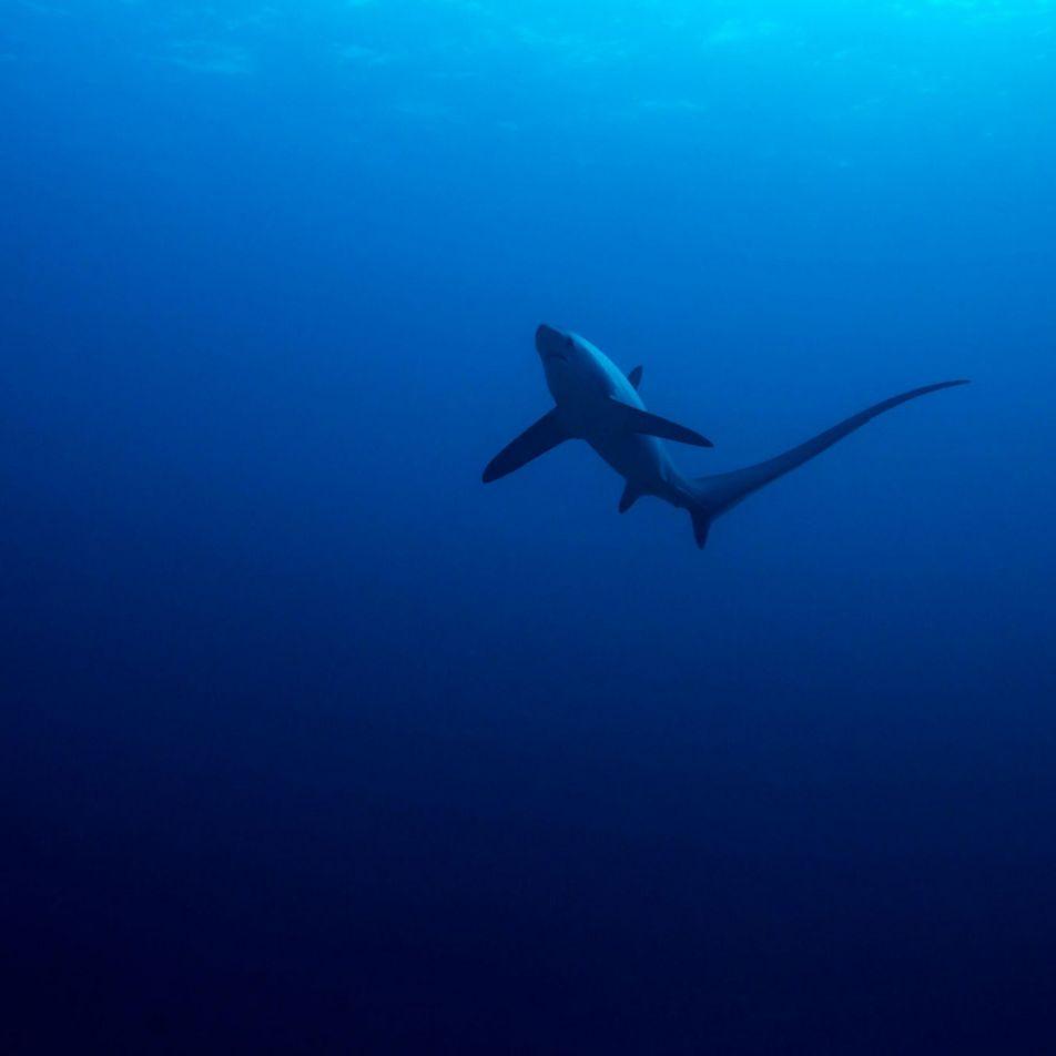 Un fenómeno misterioso provocó el desplome de las poblaciones de tiburones hace 19 millones de años