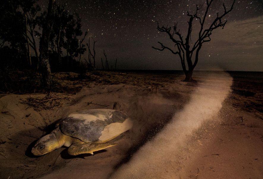 Una tortuga franca oriental levanta arena mientras excava un nido en la isla Crab, en la ...