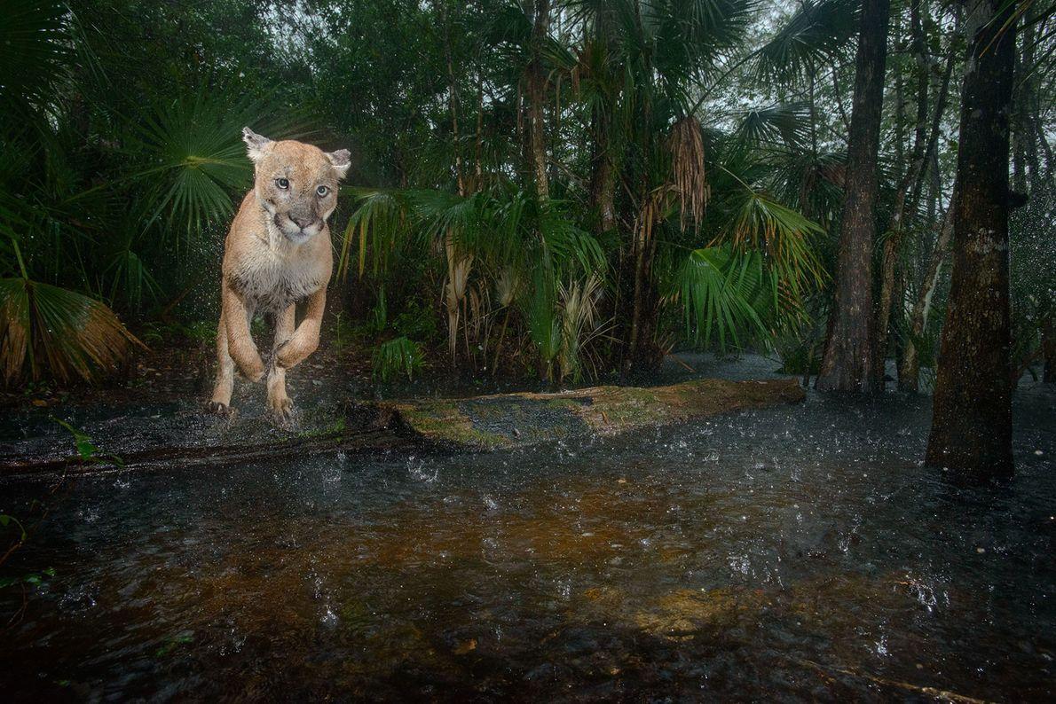 Puma norteamericano