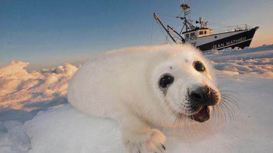 ¿Por qué continúa la caza de focas en Canadá pese al descenso de su demanda?