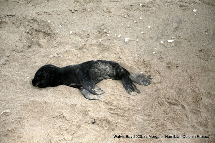 Muerte lobos marinos Namibia