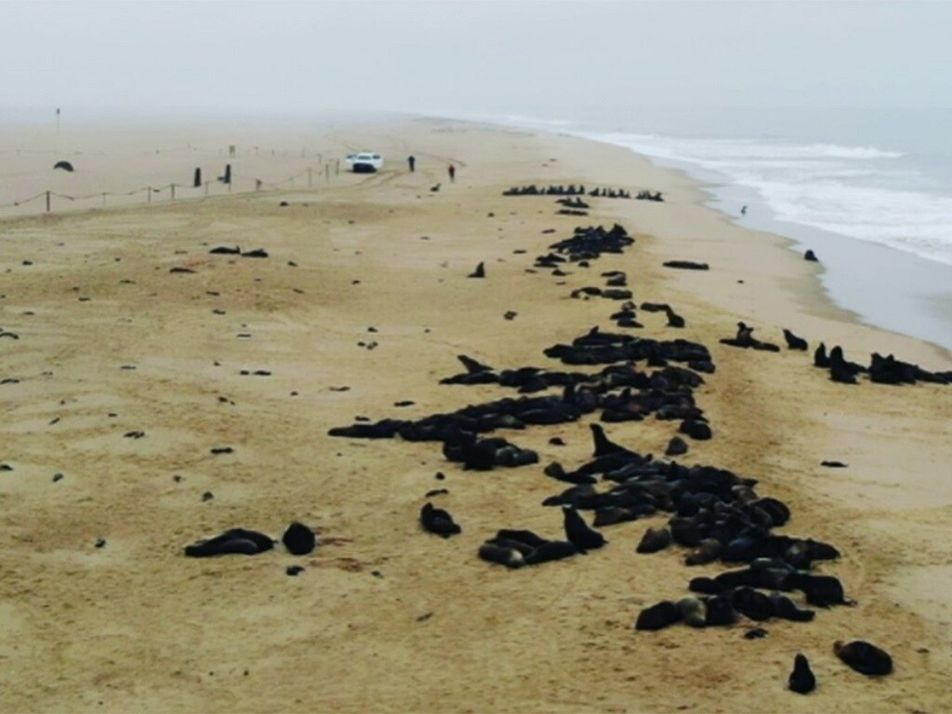 Hallan 7.000 lobos marinos muertos en la costa de Namibia