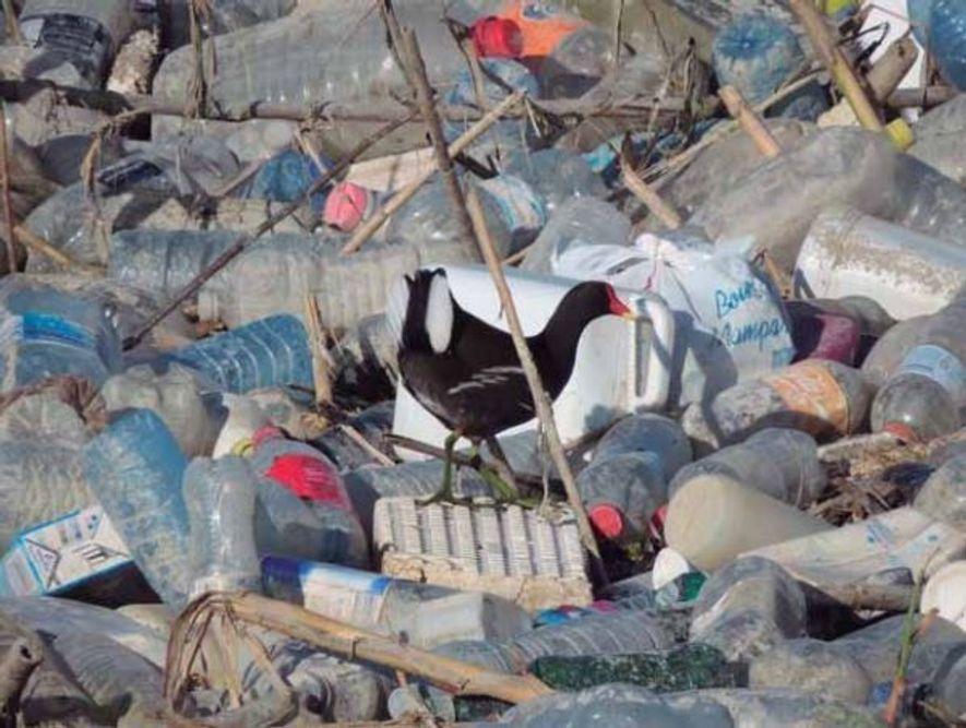 El informe Banderas Negras lleva como portada a una gallineta común perdida en un mar de ...