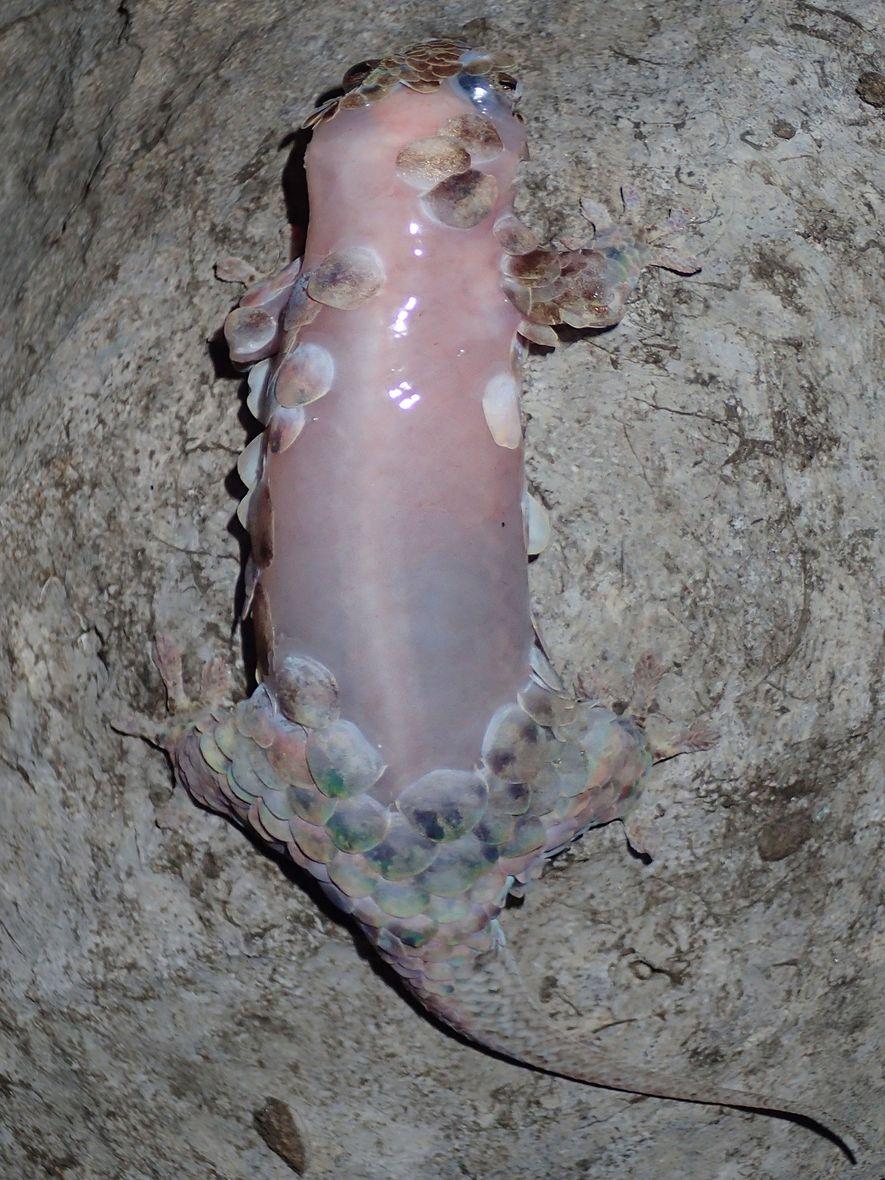 Un Geckolepis megalepis sin escamas que vive en Madagascar.