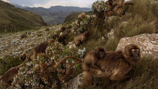 Estos monos sobreviven en duras condiciones a 3.000 metros de altura