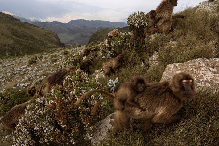Los geladas, unos de los pocos primates que pasan gran parte de su vida sobre el ...