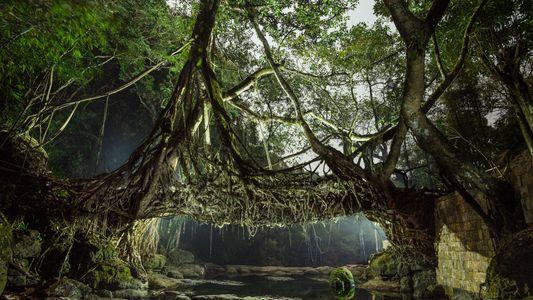 Visita la «morada de las nubes», donde crecen puentes de los árboles