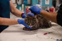 Gato examinado en la Humane Society