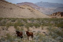 Caballos salvajes trotan entre los matorrales secos