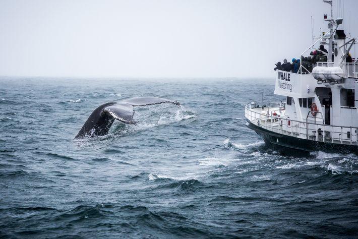 Fotografía de una ballena jorobada saliendo a la superficie
