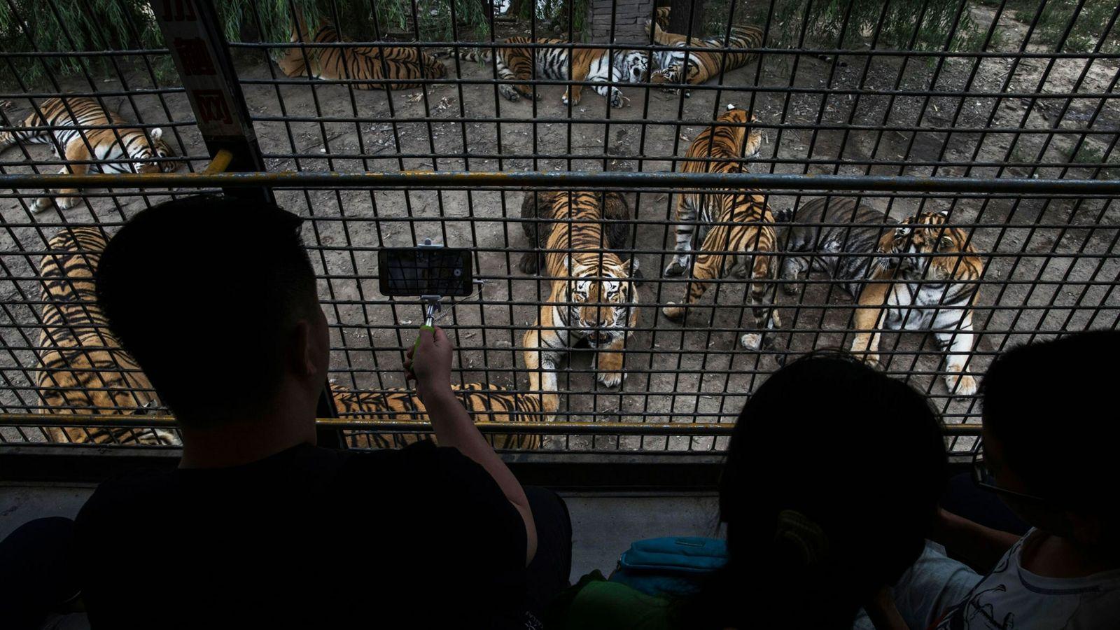 Turistas observan a los tigres en el Parque del Tigre Siberiano de Heilongjiang