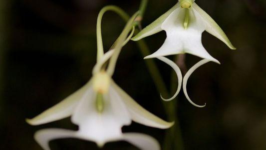 Los científicos de Florida tratan de salvar las raras orquídeas fantasma