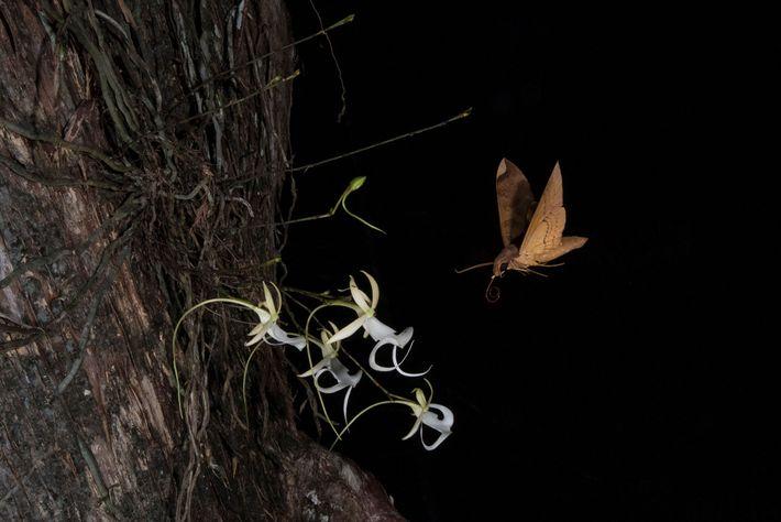 Polilla Pachylia ficus