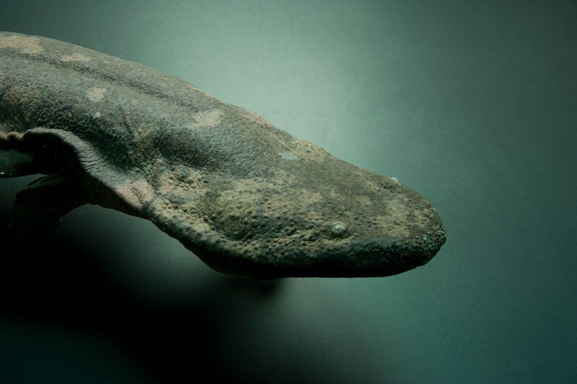 Salamandra china gigante