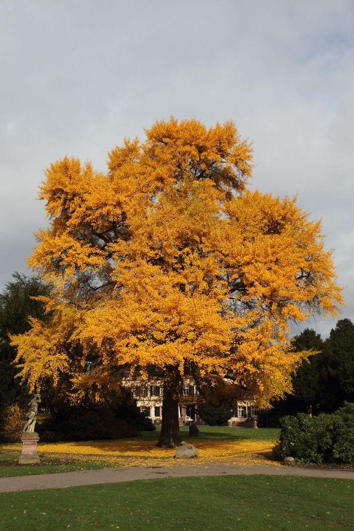 Un ginkgocon hojas amarillas en otoño
