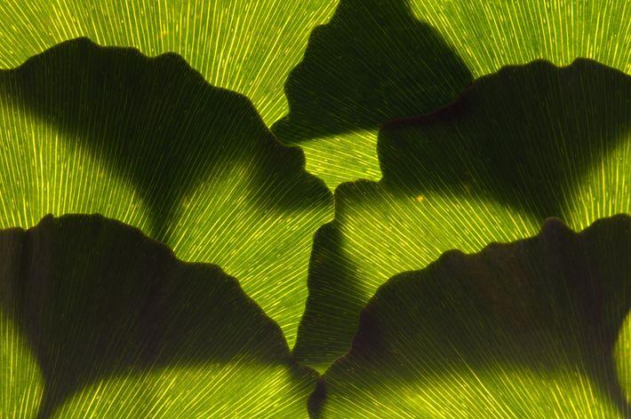 Un arreglo de hojas de ginkgo