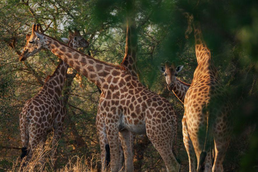 Zakouma alberga a unas 1200 jirafas de Kordofán, más de la mitad de la población mundial ...