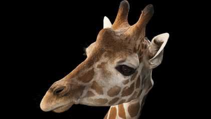 Bebés jirafa