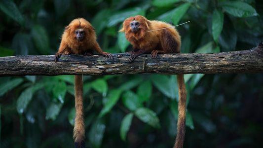 La pandemia amenaza medio siglo de esfuerzos para proteger a estos monos amenazados