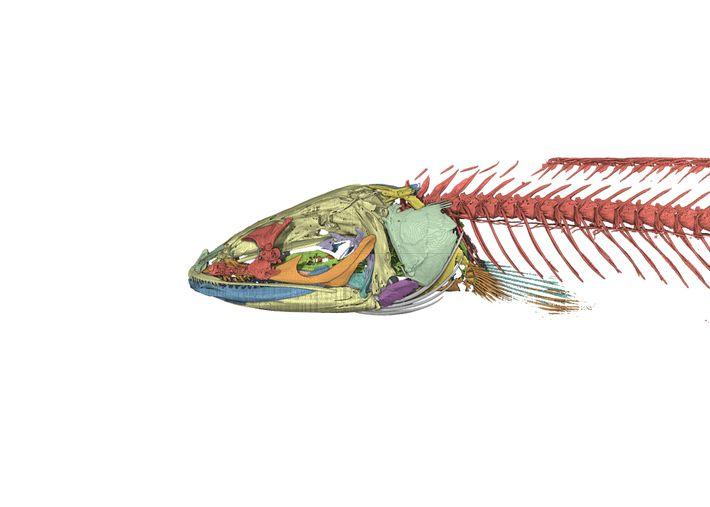 Imagen creada por ordenador del esqueleto del pez Gollum