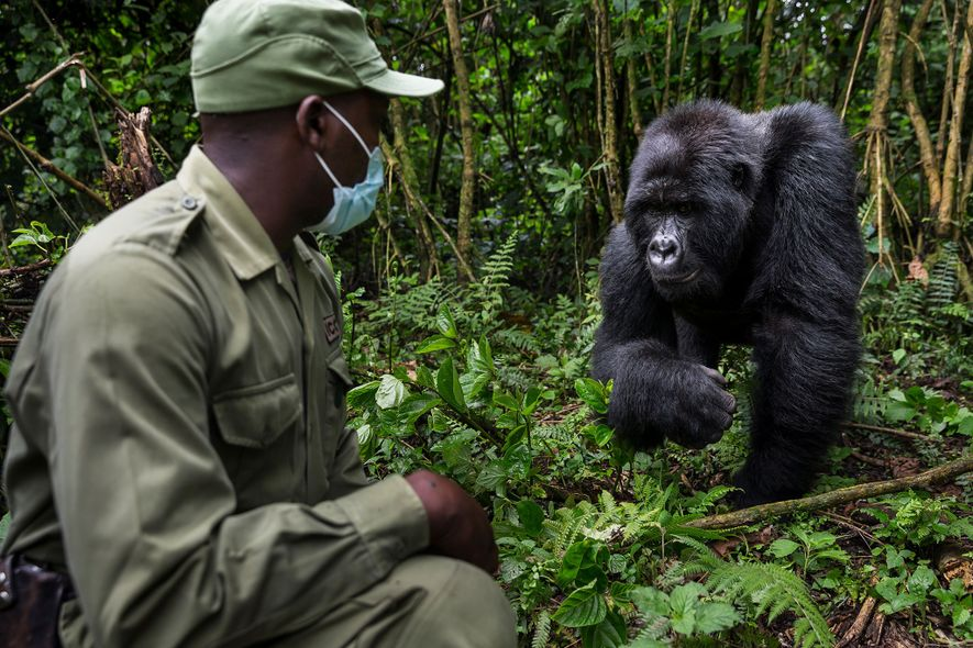 Innocent Mburanumwe, guarda del parque nacional de Virunga, lleva una mascarilla cuando se acerca a los ...