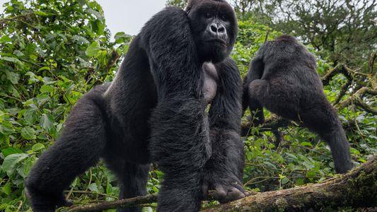 ¿Cómo se protege a los gorilas del ébola?