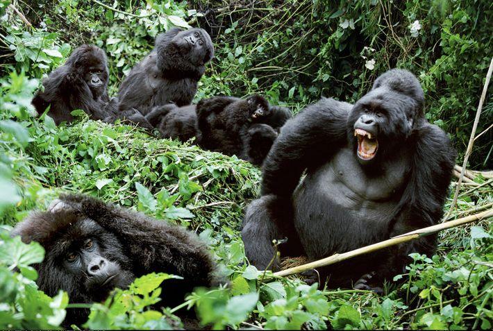 Un gorila macho enseña los dientes