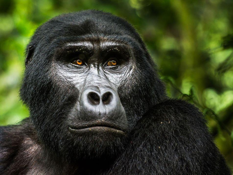 El gorila de montaña se aleja un paso de la extinción