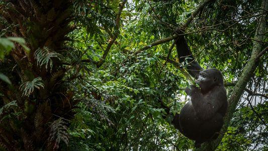 Te damos 5 razones para ir a ver gorilas en Uganda