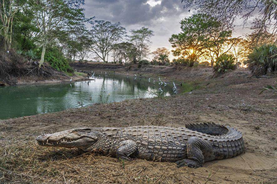 Cocodrilo, Mozambique
