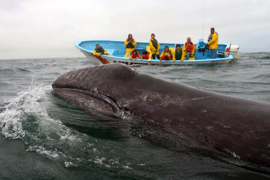 Cada invierno, miles de ballenas grises migran unos 9.700 kilómetros al sur para reproducirse y dar ...